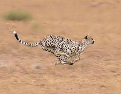 Çita: Habitat, Özellikleri ve Davranışı