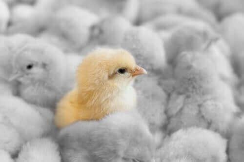 Kuş Gribi: Kümes Hayvancılığı Üzerindeki Etkisi