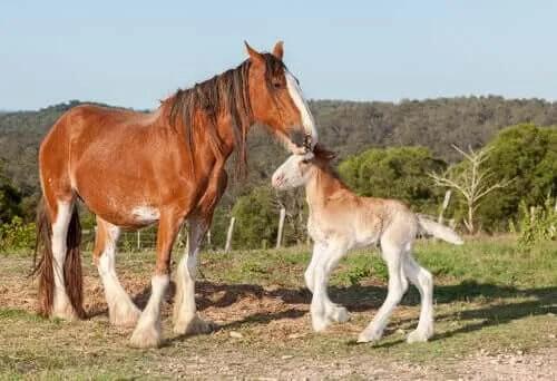 Ünlü İngiliz Irkları: Clydesdale Atı