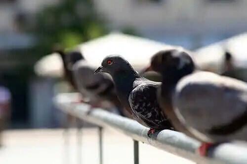demirde duran güvercinler
