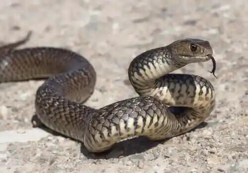 dili dışarıda bir yılan