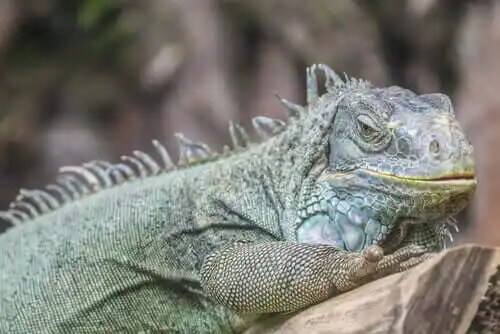 evcil iguana