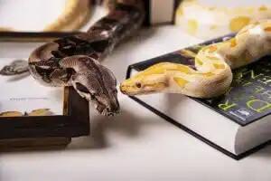 sarı ve siyah evcil yılanlar