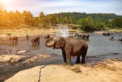 Fil: Özellikleri, Davranışı ve Habitatı