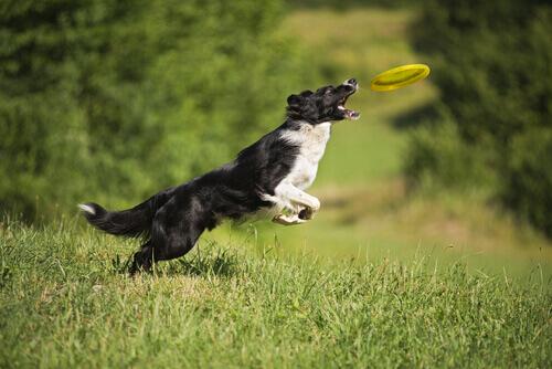frizbi yakalamaya çalışan köpek