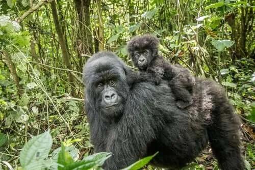 Goril: Özellikleri, Davranışı ve Habitatı