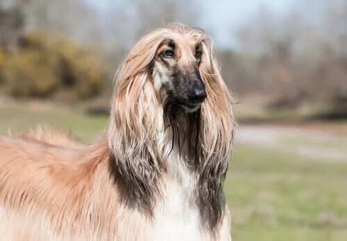 Grup 10 Köpekler: FCI'ye Göre Irk Sınıflandırması