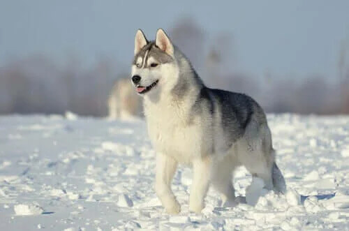Grup 5 Köpekler: FCI'ye Göre Irk Sınıflandırması