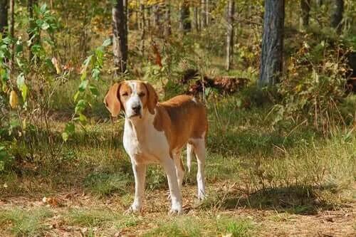 Grup 6 Köpekler: FCI'ye Göre Irk Sınıflandırması