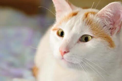 Kedi Irklarının FIFe Sınıflandırması: Grup I Kedileri