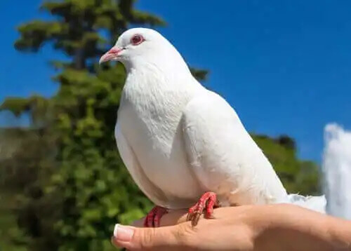 elde duran güvercin