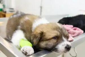 hastanede yavru köpek