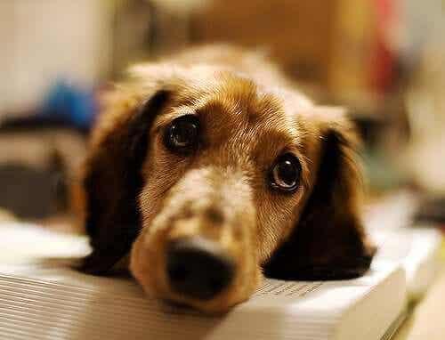 hasta yatan üzgün köpek