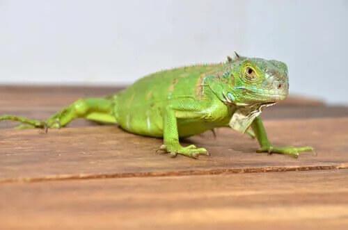 İguana Yetiştirmek: Bilmeniz Gereken Her Şey