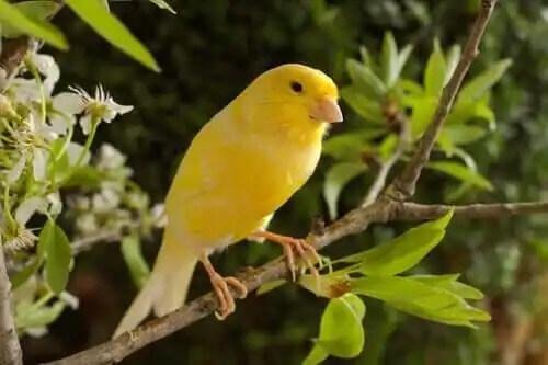 kanarya kuş bakımı
