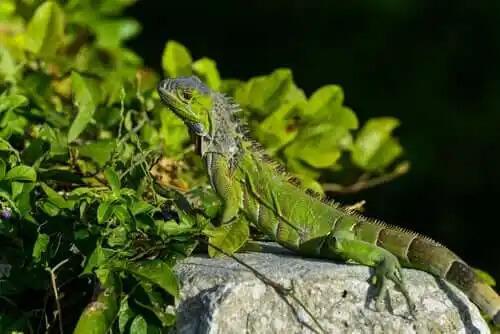 kaya üzeride iguana