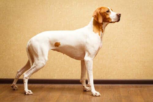 Kısa Tüylü Köpek Irkları: Daha Az Tımar!