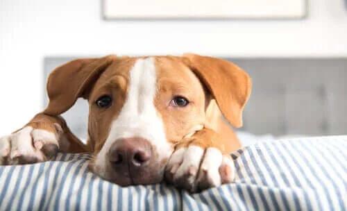 Köpeklerde Tenya: Belirtileri, Tanı ve Tedavisi