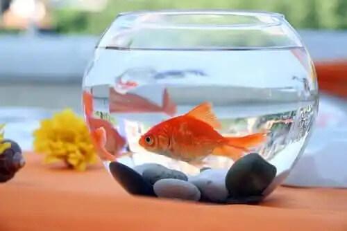 küçük akvaryumda kırmızı balık