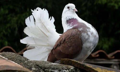 Güvercin Bakımı - Onları Nasıl Mutlu Edersiniz