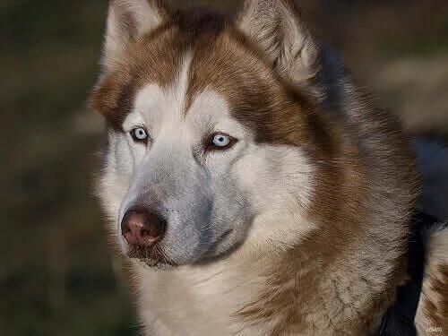 Köpeklerde Kuru Göz Sendromu Hakkında Her Şey