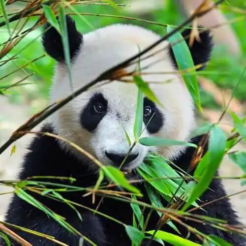 dalların arkasından bakan tatlı panda