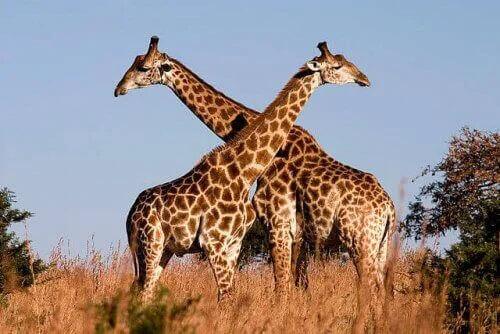 karşılıklı duran iki zürafa
