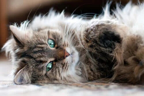 Sibirya Kedisi Hakkında Her Şeyi Öğrenin