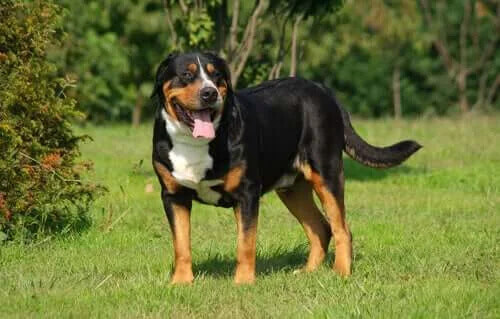 Altı Popüler Sığır Köpeği Irkı