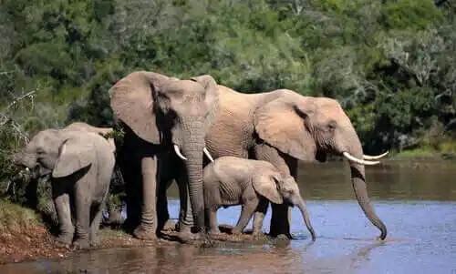 su içen ebeveyn ve yavru filler