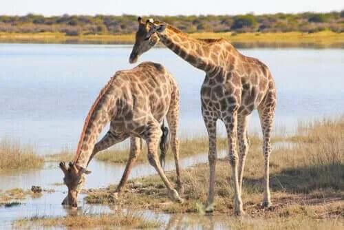 su içen zürafalar