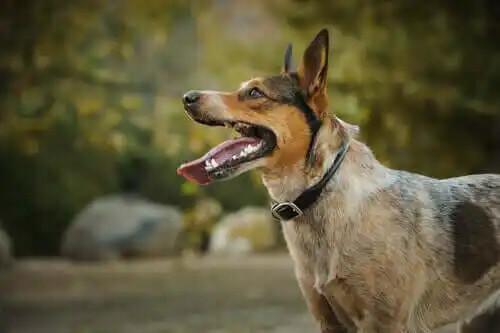 tanınımş hayvanlar köpek