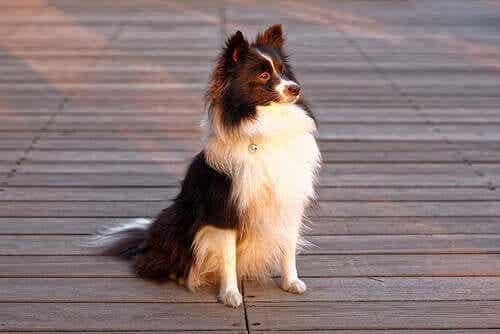 uzun tüylü köpek