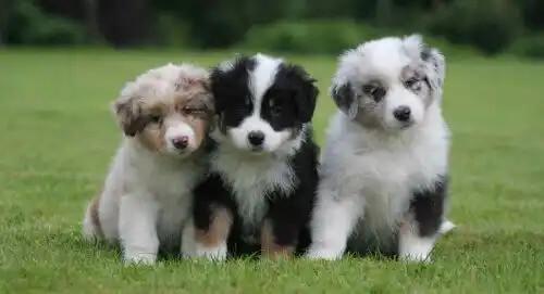 yan yana duran yavru Avustralya çoban köpekleri