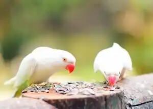 evcil kuşlar ve yemleri