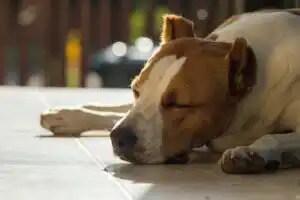 yerde yatan hasta köpek