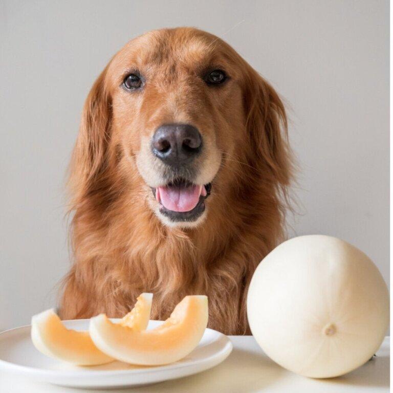 Köpekler Kavun Yiyebilir mi?